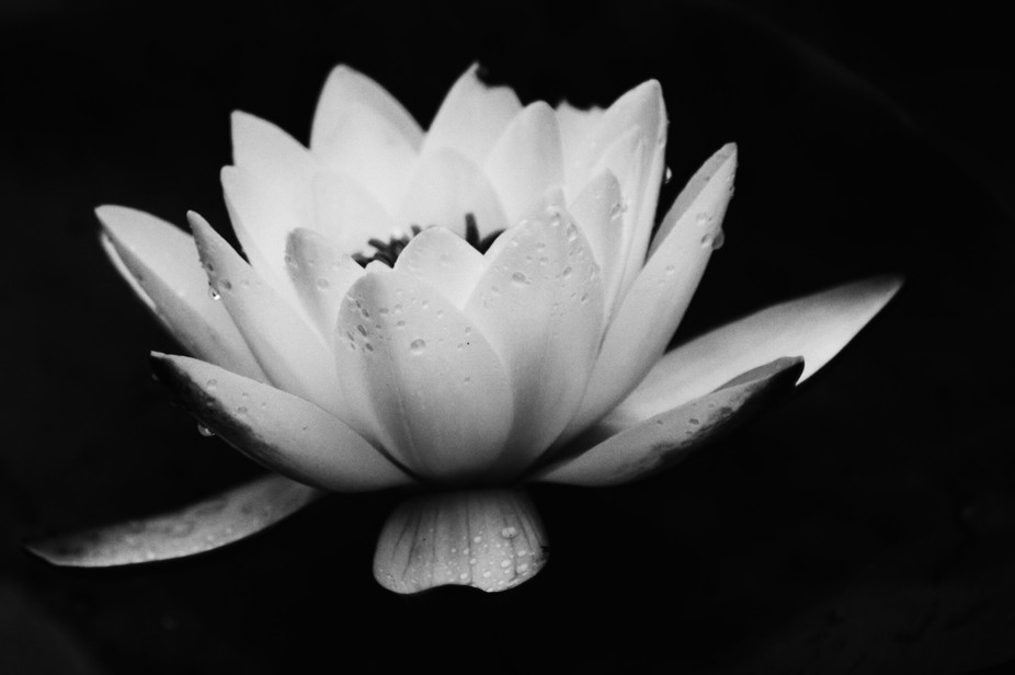 A Water Lily after a rain shower taken from the side (black and white image)