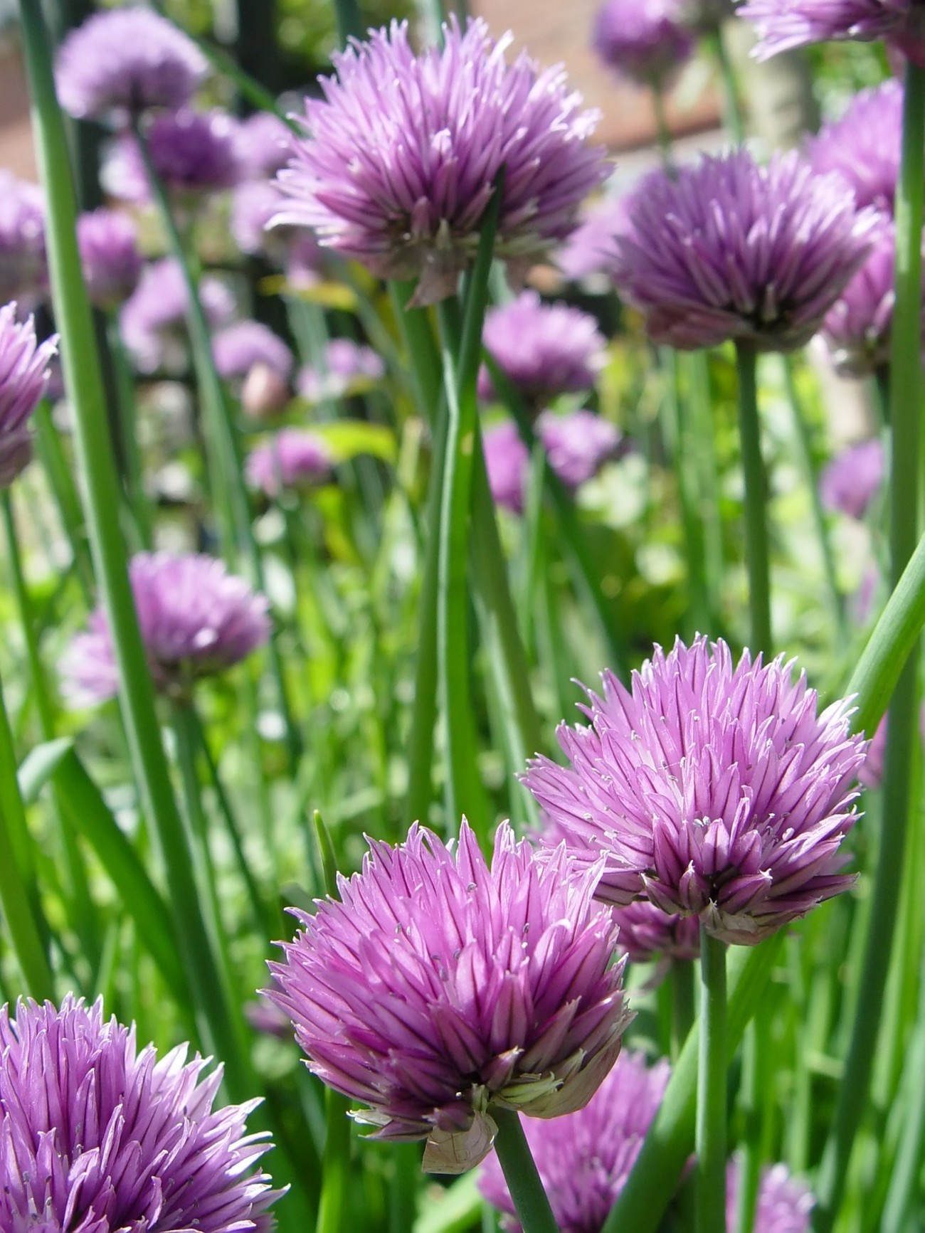 Close up of the flowers of some Chives (Allium schoenoprasum). The stalks are a herb used in seasoning and the plant is the smallest plant of the onion family.