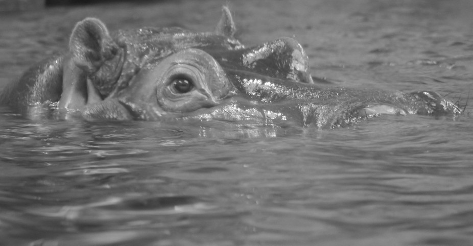 hippo b and w