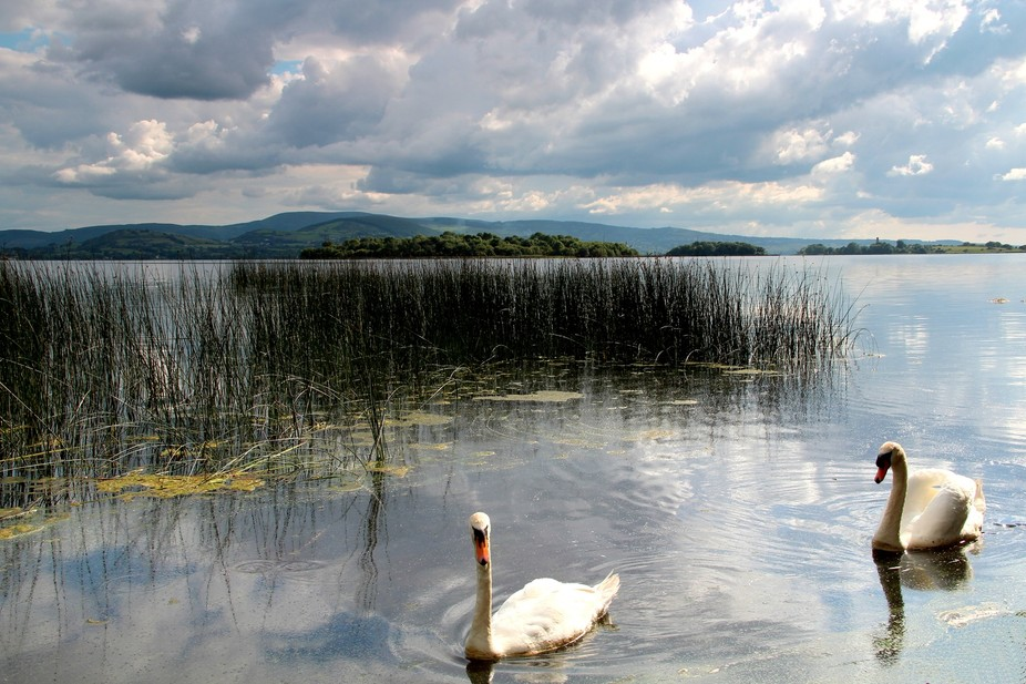 Swans on Lough Derg
