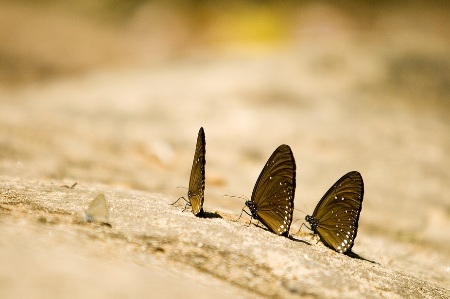 3 Little Butterflys