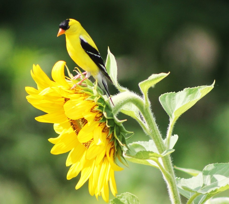 American Goldfinch and Sunflower