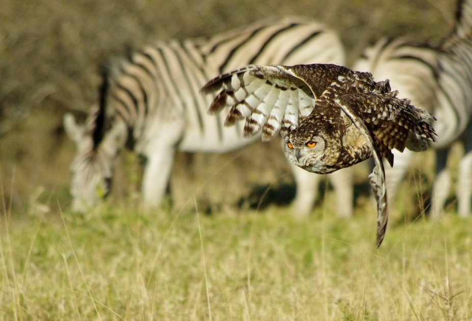 Cape Eagle owl flying past some zebras in a game park in South Africa.