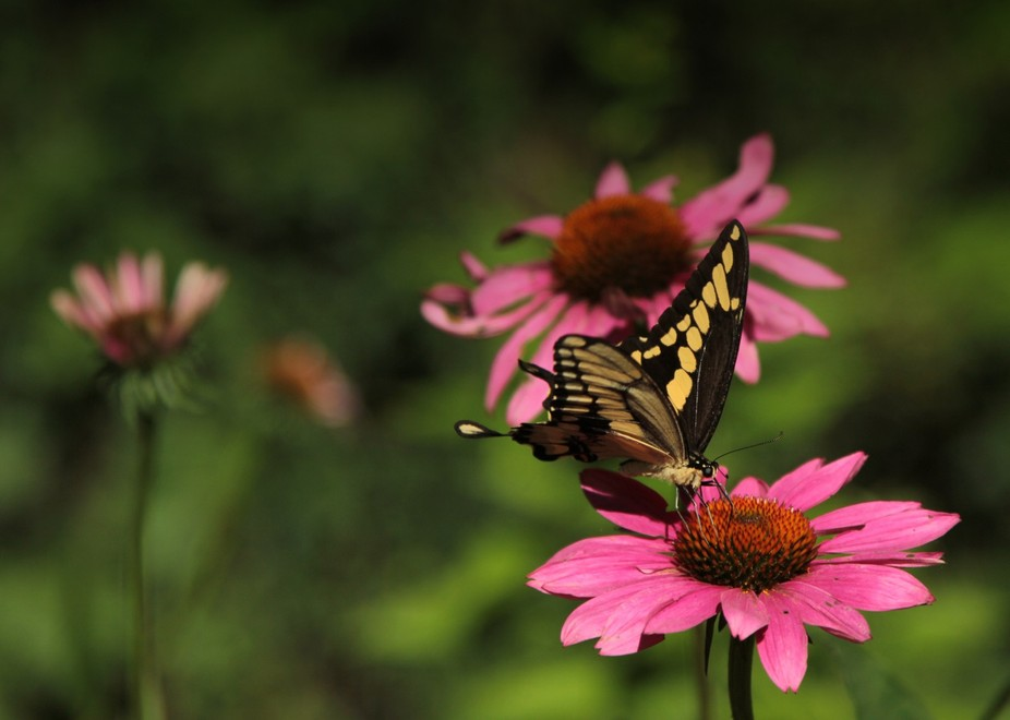 I have not seen this visitor in my garden before...fluttered around a long time before I could ge...