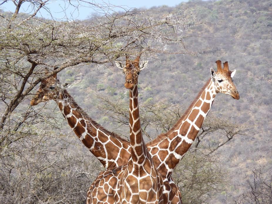 Three giraffes caught on safari in Kenya