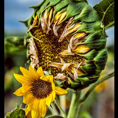 sunflowers40
