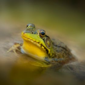 Shot with a slower shutter speed with selective focus. This bull frog stayed in my backyard pond for almost a year making sure it was heard throu...
