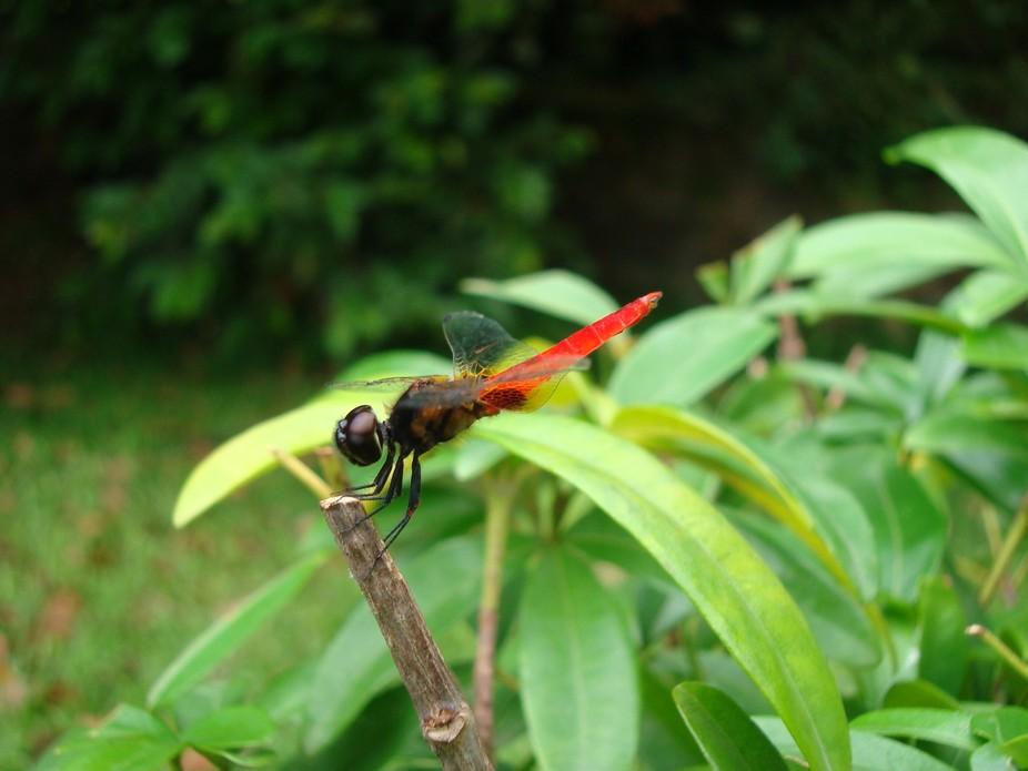 dripsita-a dragonfly