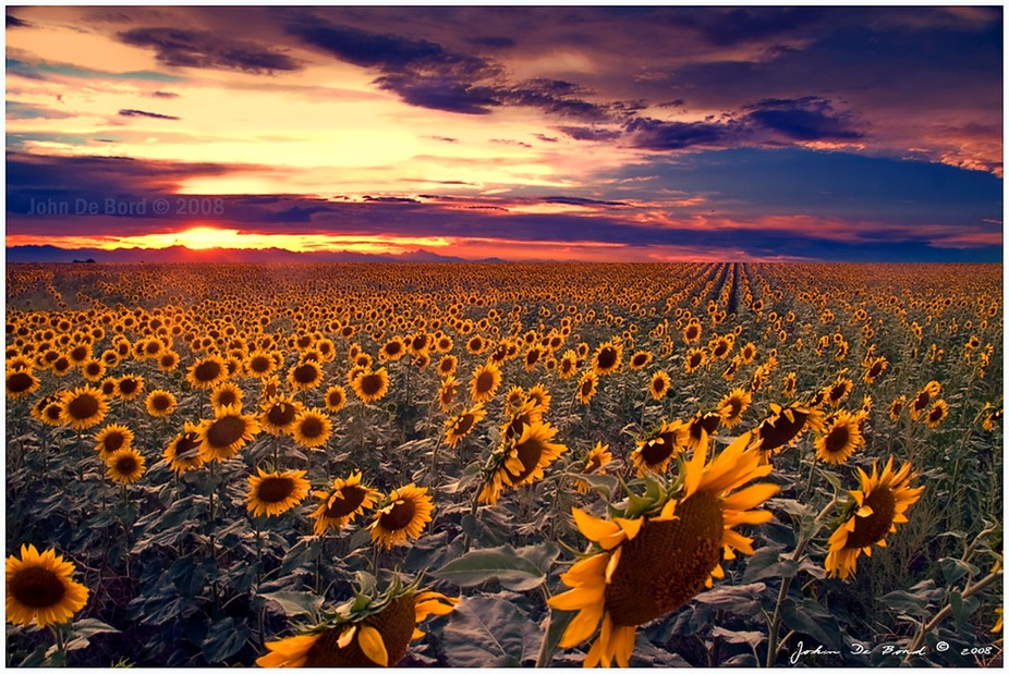 Sunflowers_and_Sunsets_by_kkart