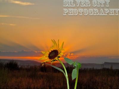 black eyed susan in sunset