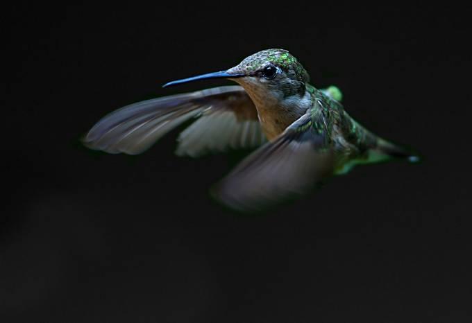 Hummingbird by JimCumming - Just Hummingbirds Photo Contest
