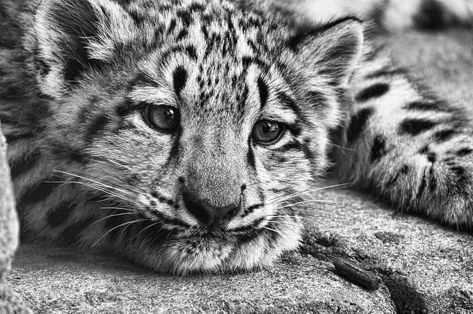Snow Cub by JeffreyA - Baby Animals Photo Contest