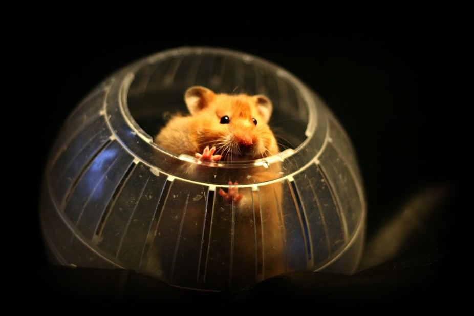 My teddybear hamster Twinkie