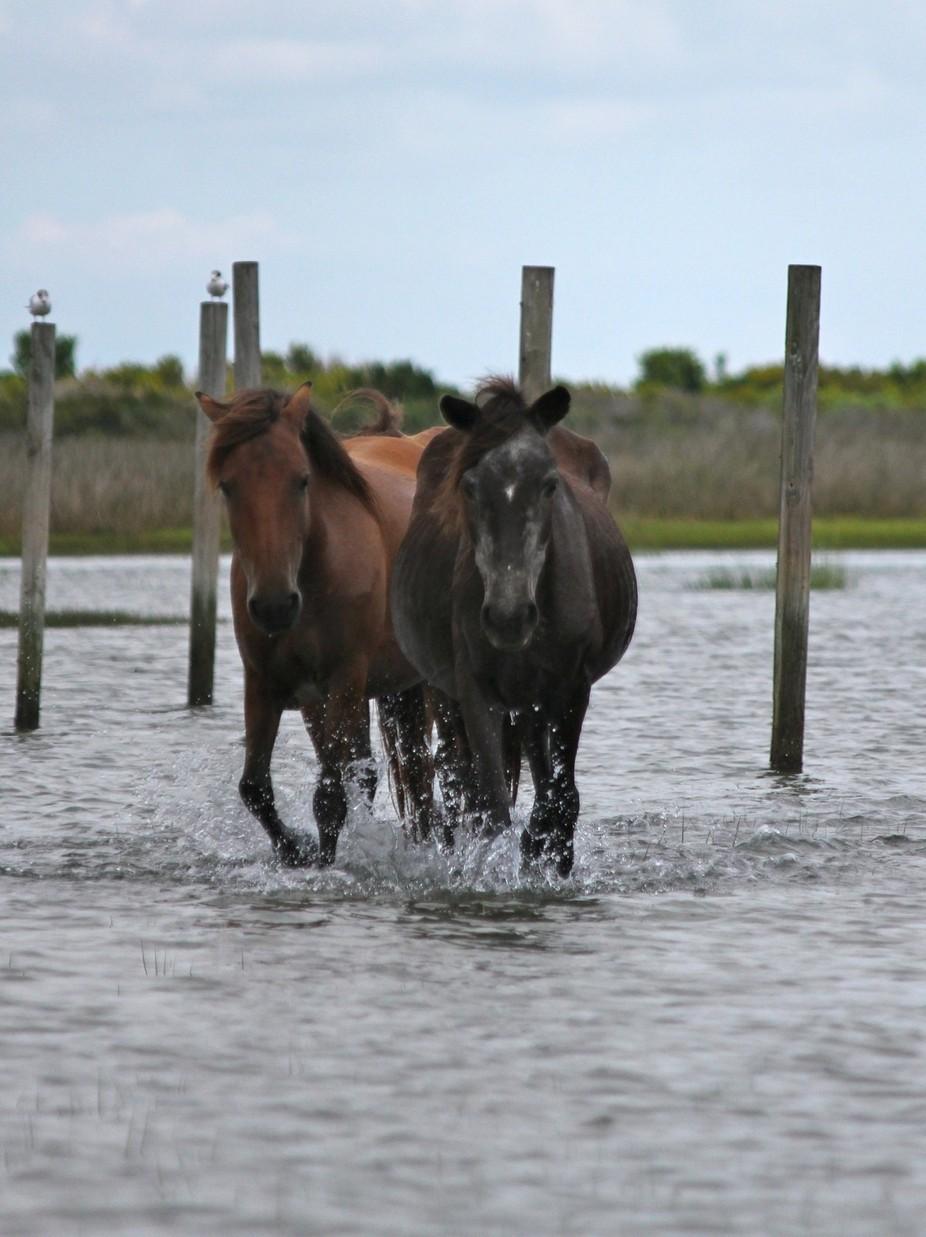 Wild horses on Shackleford Banks, NC