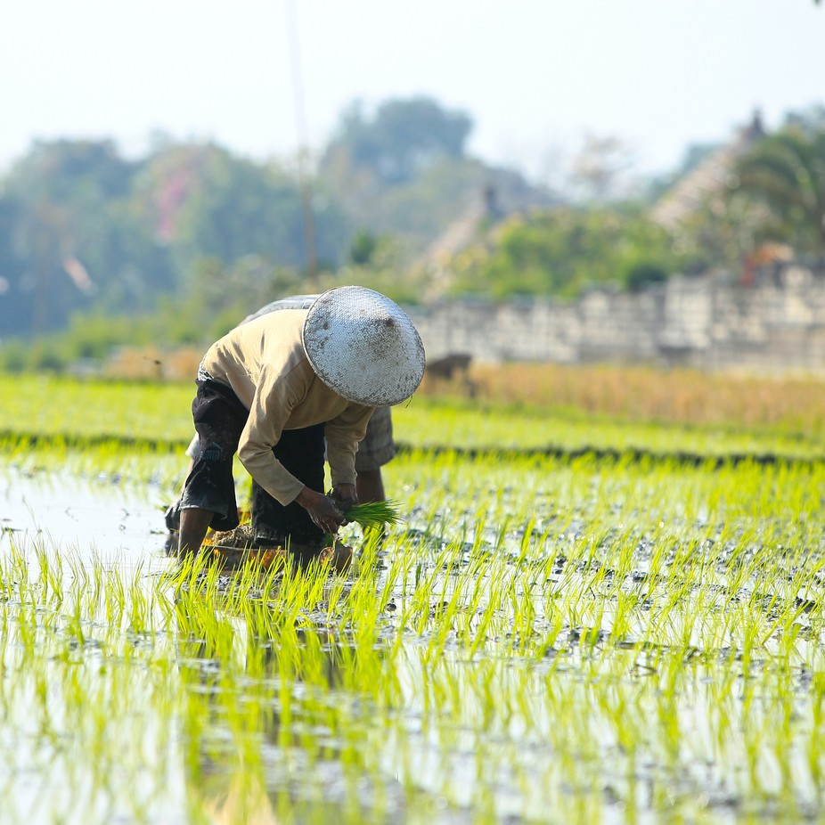 planting rice in a paddy in Bali, Indonesia