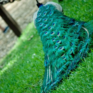 This was taken in St. Augustine, FL at the Fountain of Youth where they have multiple peacocks. I loved the look of this train as this peacock slowly walked away from me.