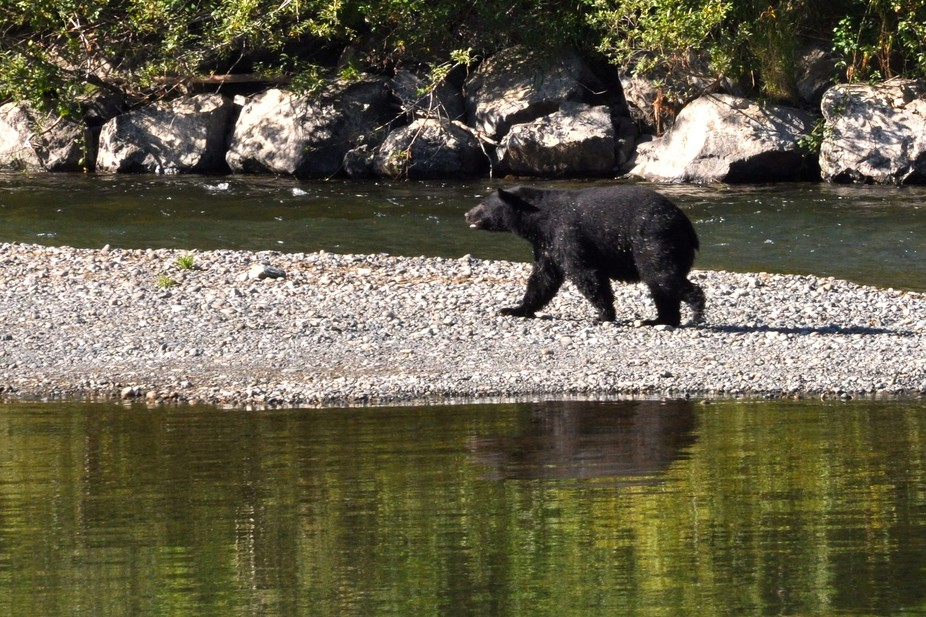 A Black Bear on the river