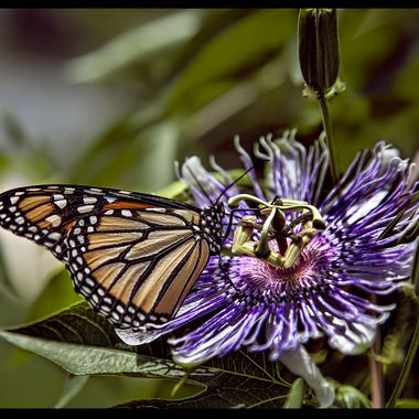 Monarch Butterfly and a passion plant, in an up-close embrace