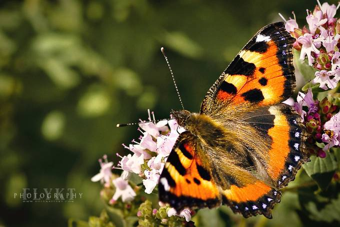 Butterfly by Flykt