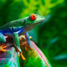 A colorful Red Eyed Tree Frog perched on a leaf in a tropical setting.