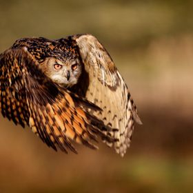 A large female eagle owl on a mission