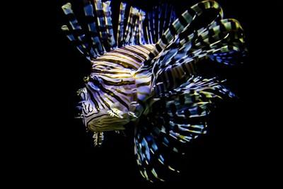 Beautiful Lion Fish