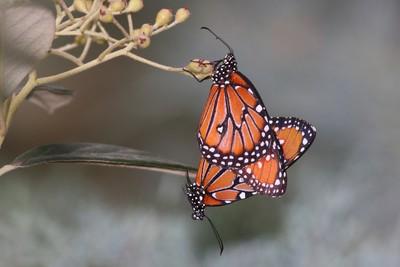 Queen butterflies mating