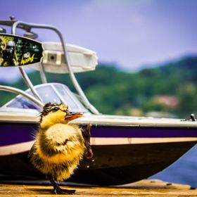 Wilbur is a baby duck that my aunt and uncle rescued on their lake in Tennessee they let him hang out on the boat that is behind him in the pictu...