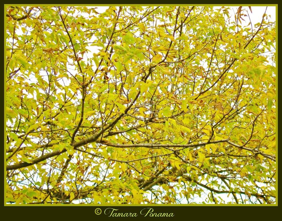 PM Edit Autumn Gold Tree 10-03-2012 IMG_0197