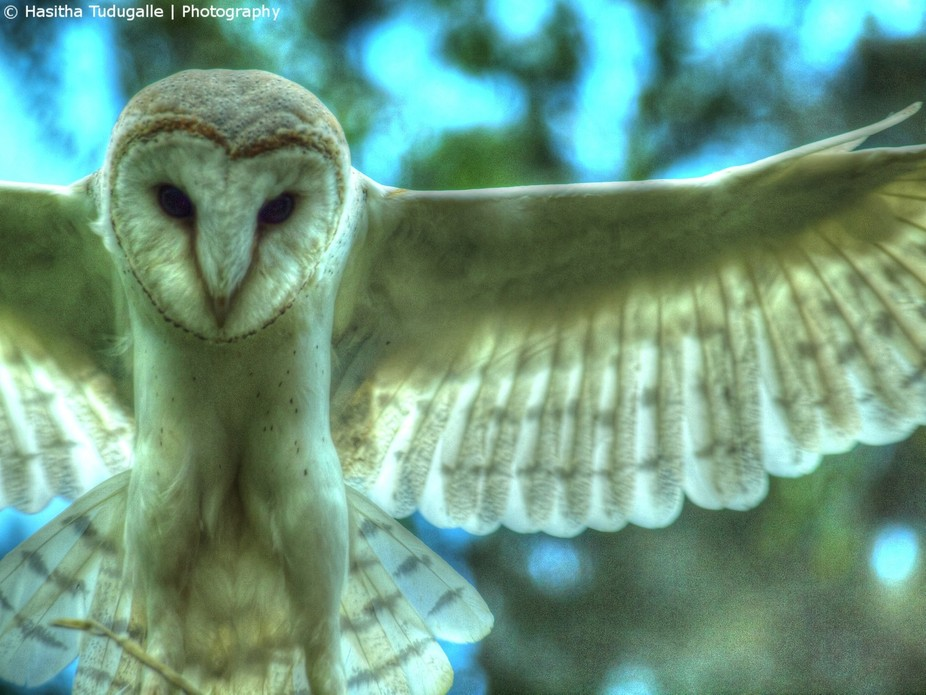 This beautiful Owl was flying over my head as I took this photo at the feathered friends wildlife...