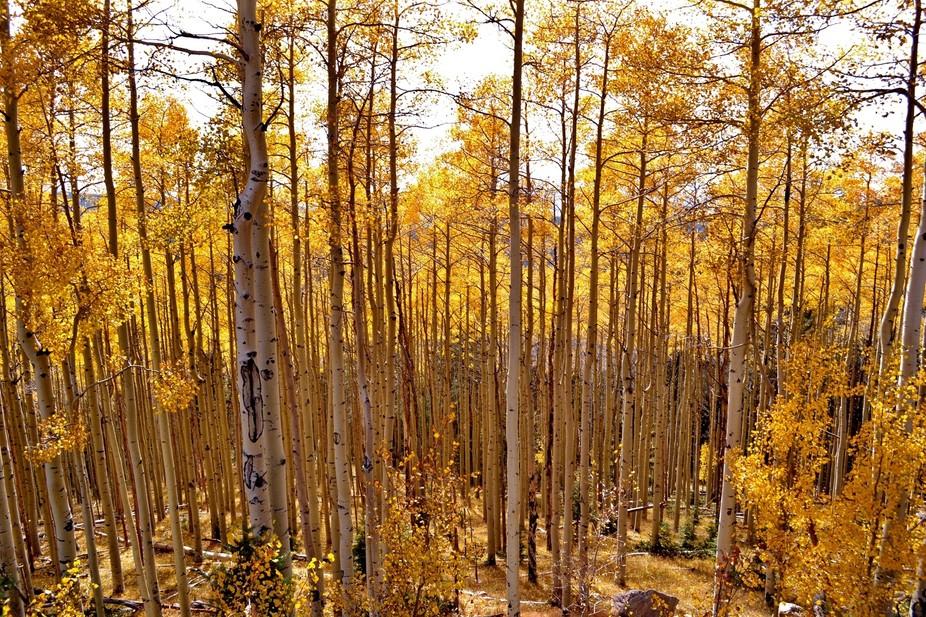 Aspen Trees in the Sangre De Cristo Mountains