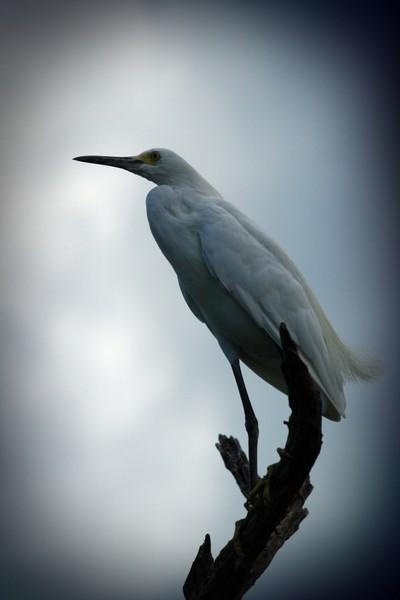 egret-in-tree2