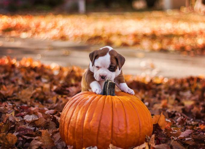 Boxer pup by Maddhatter - Baby Animals Photo Contest