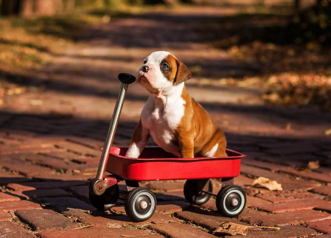 Boxer pup by Maddhatter - Kittens vs Puppies Photo Contest