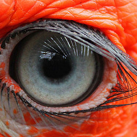 Macro eye shot of a Southern Ground Hornbill which is native of South Africa.