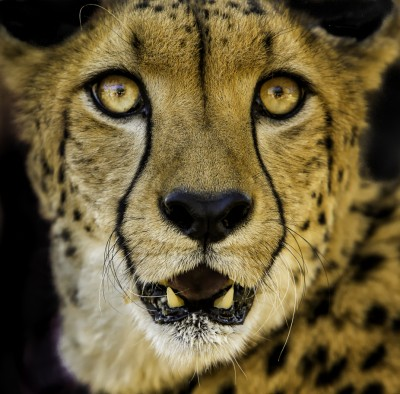 cheetah_portrait_1200