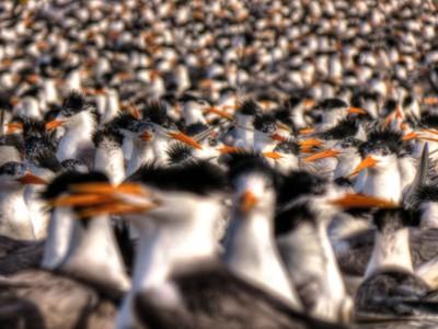 Breeding Colony of Lesser Crested Tern, Karan Island, Arabian Gulf, Saudi Arabia