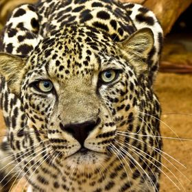 Critically Endangered, Arabian Leopard at Protected Area of National Center Of Wildlife Research, Ta'if, Saudi Arabia