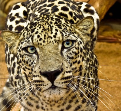Critically Endangered, Arabian Leopard at Protected Area of National Center Of Wildlife Research, Ta
