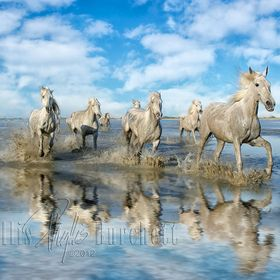 The beautiful White Horses of the Camargue in France. Won Editor's Choice on January, 2013
