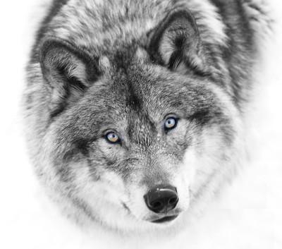 Wild Eyes - Timber Wolf