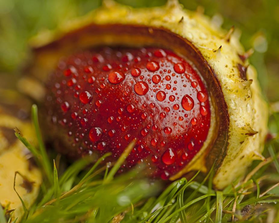 Chestnut In the Rain