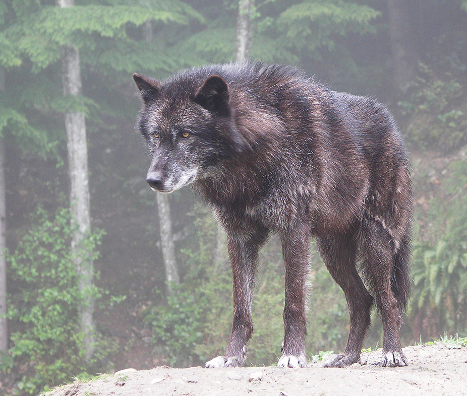 Wolf Canada   Wolf just below snowline