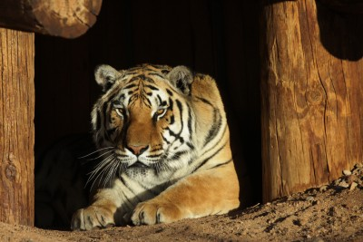 Tiger Den 1