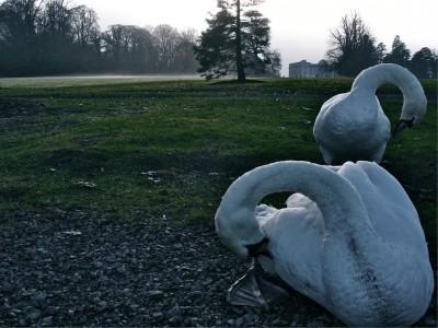 Irish Swans