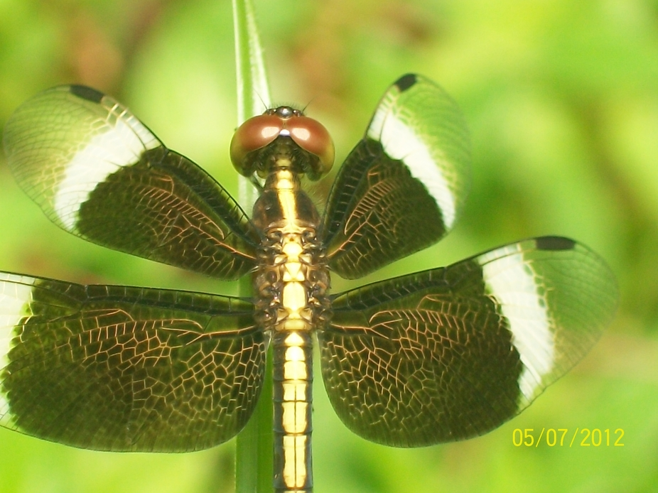 the golden vines structure of dragonfly