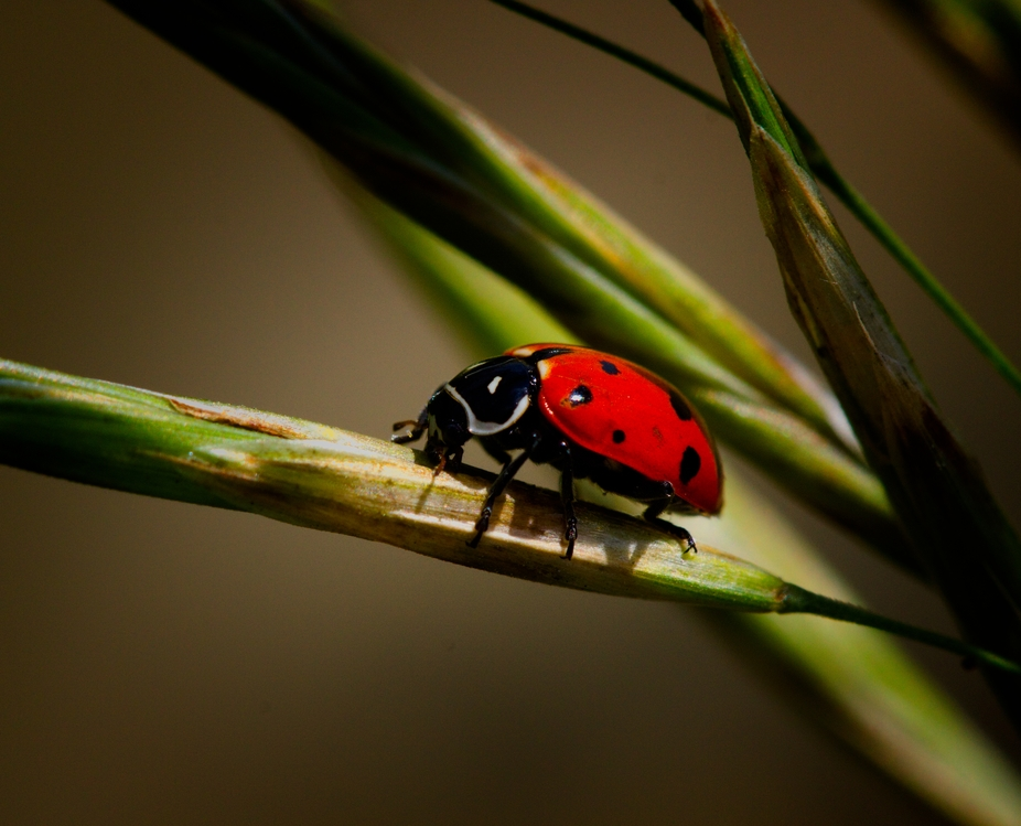 A Beautiful ladybug on a grass seed.
