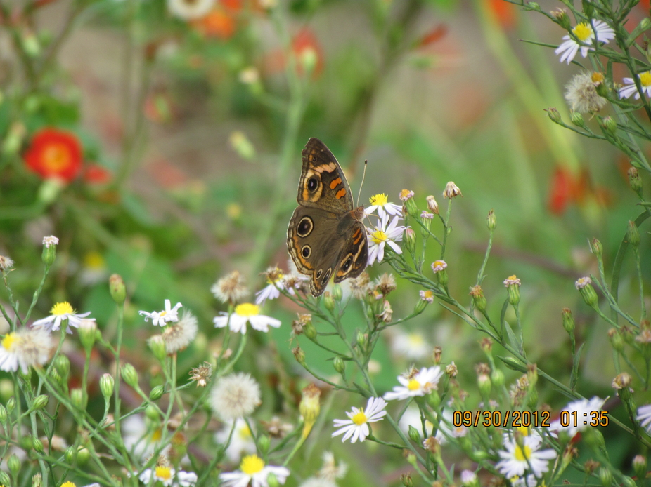 butterfly gathering nectar