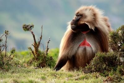 Male Gelada Baboon in Simien Mountains, Ethiopia