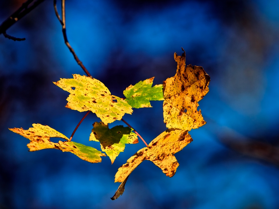 Fall Leaves and Topaz